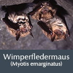 Fledermausart Wimperfledermaus